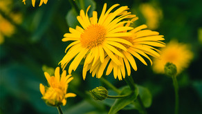 arnica can help with recovery after oral surgery