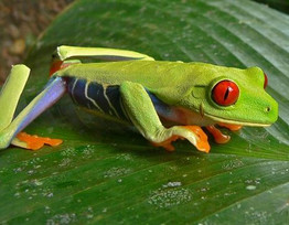 red eyes frog