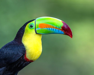 keel-billed toucan (Ramphastos sulfuratus), also known as sulfur-breasted toucan or rainbow-billed toucan