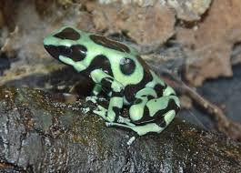 Green black dart poison frog