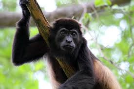 howler monkey or congos