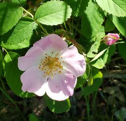 Inspiration for Wild Rose Pendant