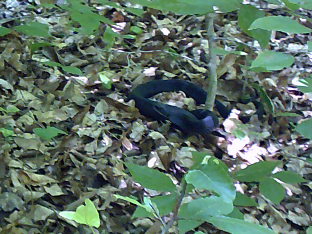 A harmless Hog Nose snake