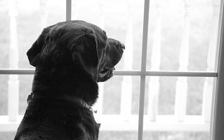 labrador-retriever-2418176_1920.jpg