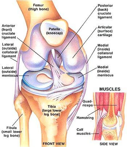 Knee Anatomy, ALC, MCL, PCL, LCL, Meniscus