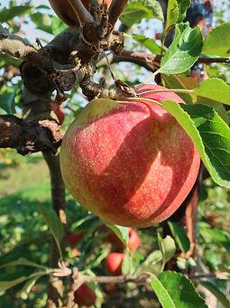 Hush Heath orchards