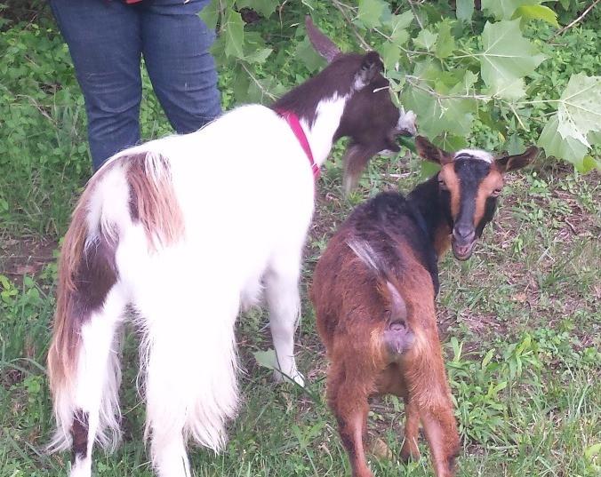 Ivomec Dosage for Goats
