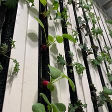 34. Radish, Kale in Tower.jpg