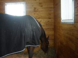 Resting in a stall after transport..jpg