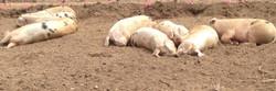 Happy Hogs