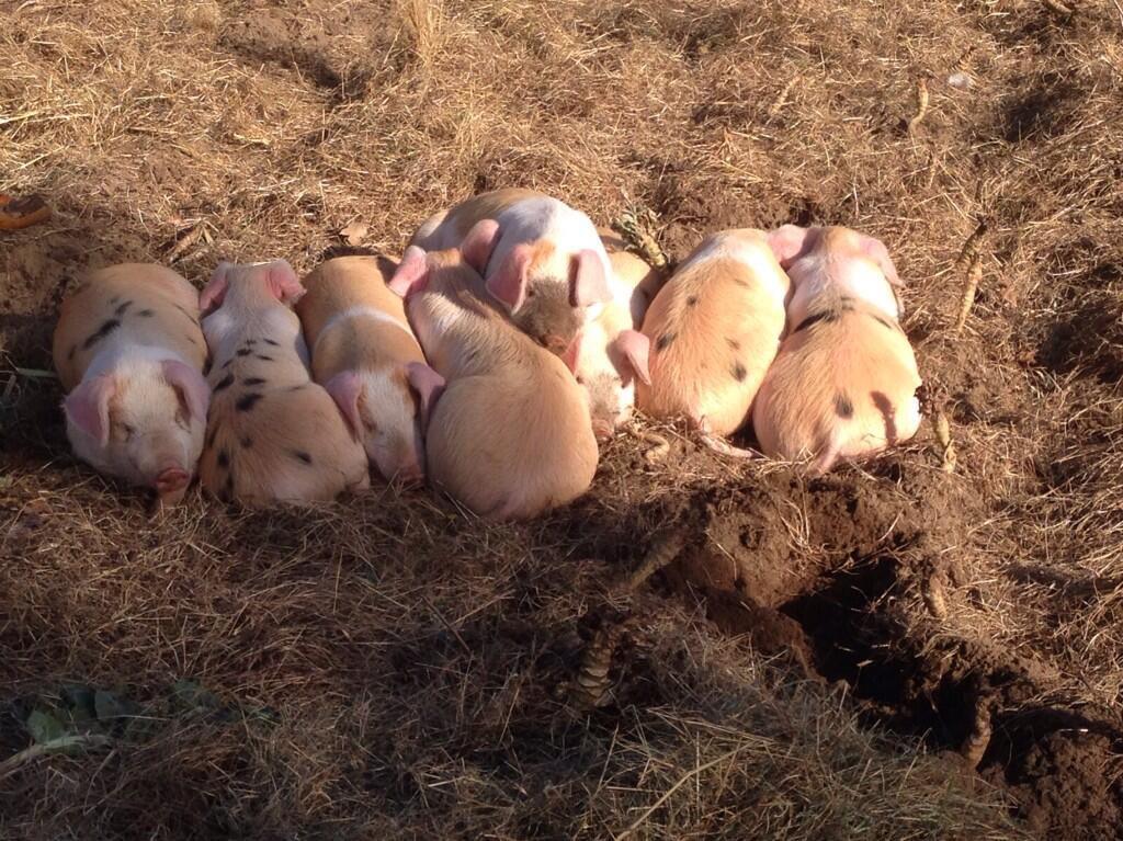 Pig Pile?