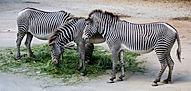 zebra farm.jpg