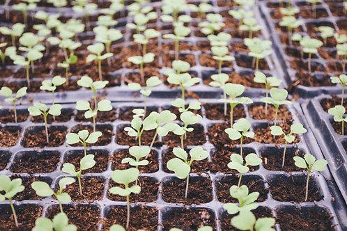 Geraniums: 12/flat