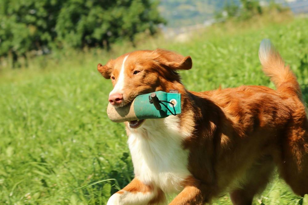 Hund Nova, Rasse Toller, apportiert Dummy