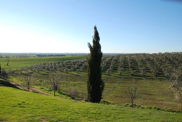 viuw olivw trees