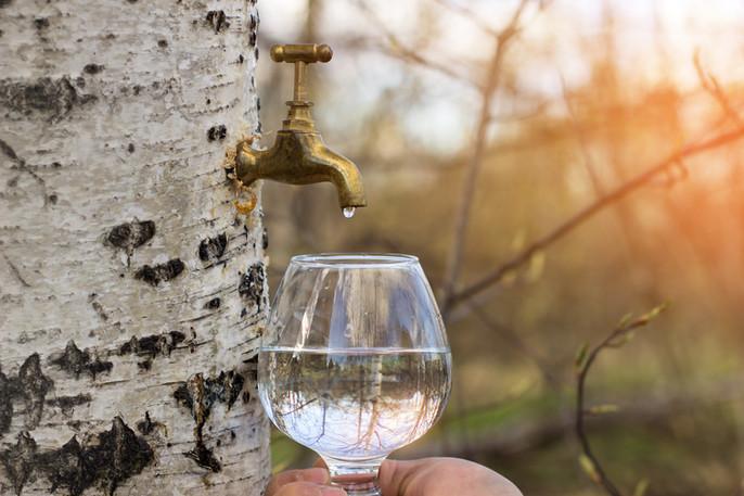 La sève de bouleau  : drainer et reminéraliser son organisme tout en douceur