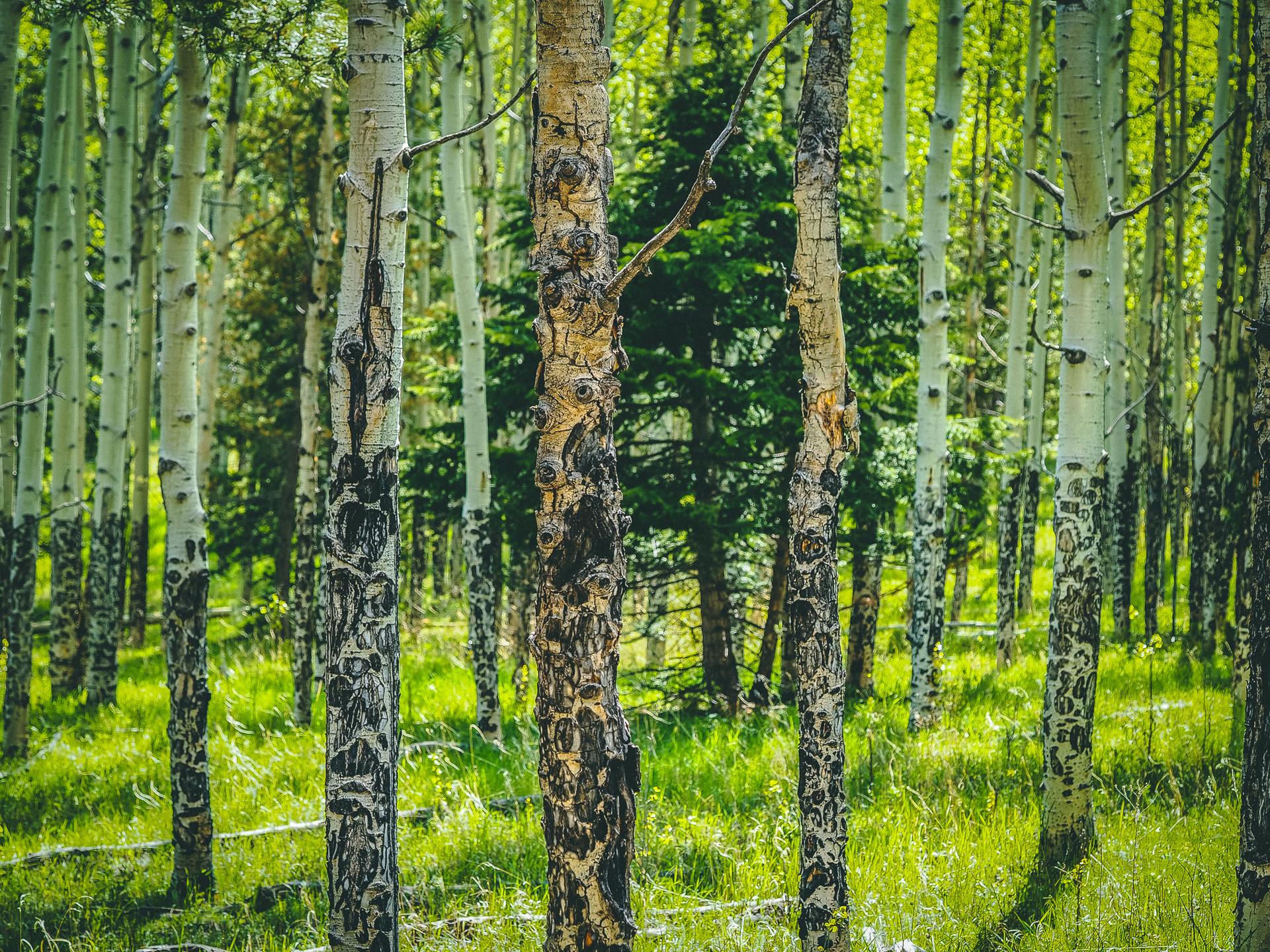 Aspens in Black Hawk, Colorado
