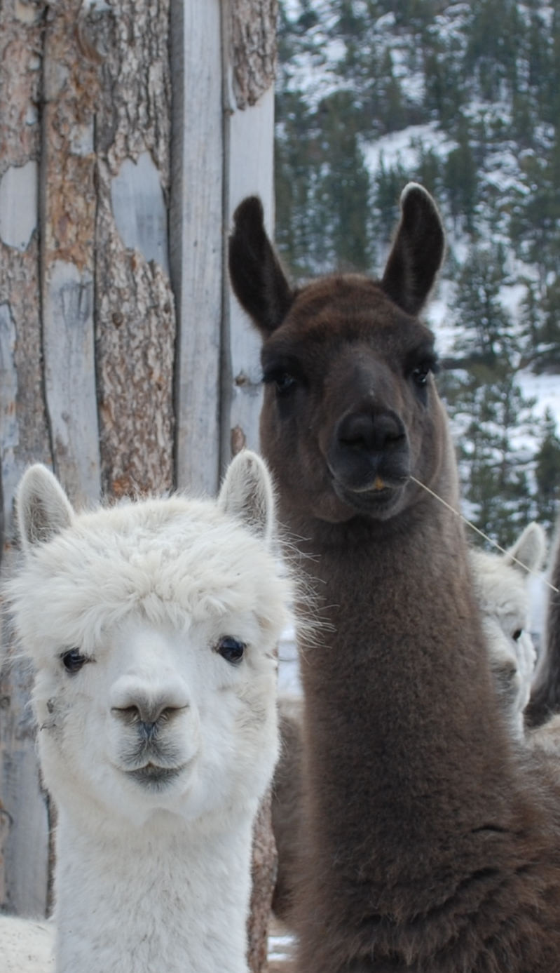 Kelly and Adam (little white alpaca)
