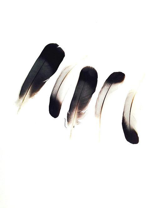 Plumes naturelles, non traitées, pennes, couleur gris / noir lot de 5