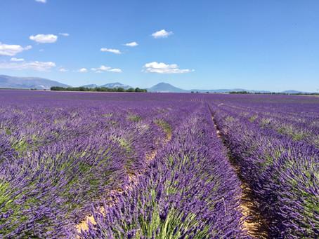 Les lavandes à l'honneur en juillet en Provence !
