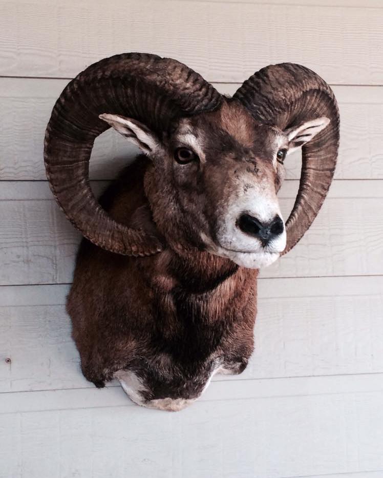 Red Sheep Sneak