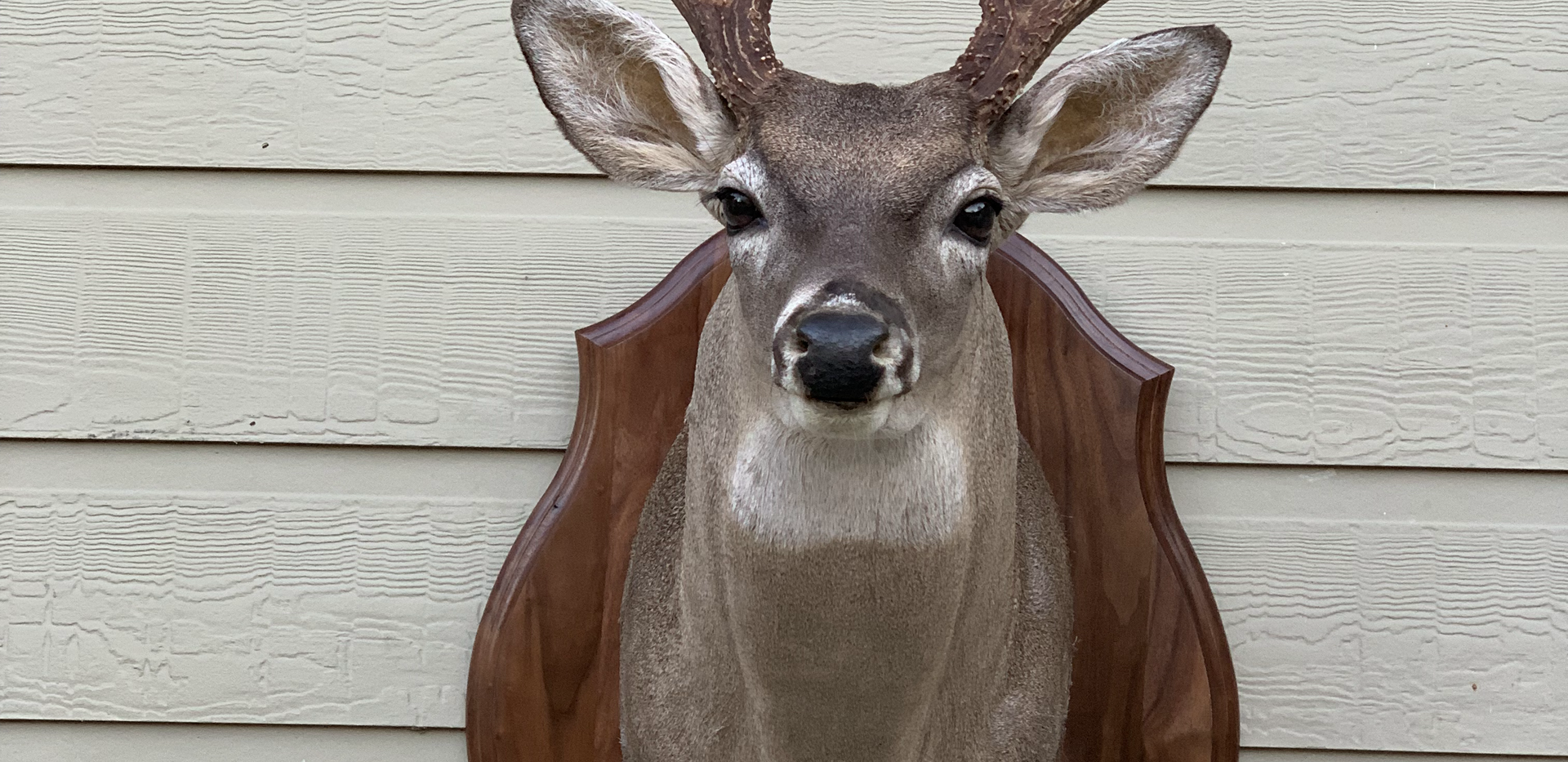 Whitetail with panel