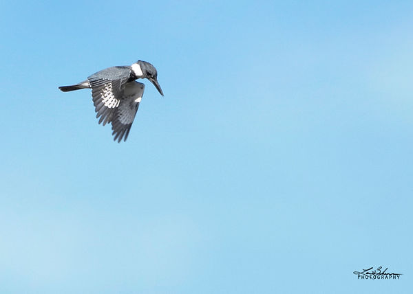 beltedkingfisher.jpg