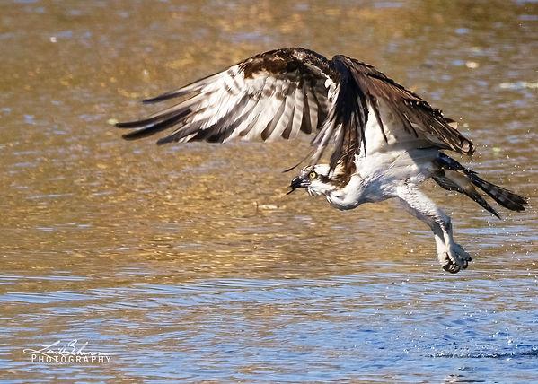 Ospreyflying3.jpg