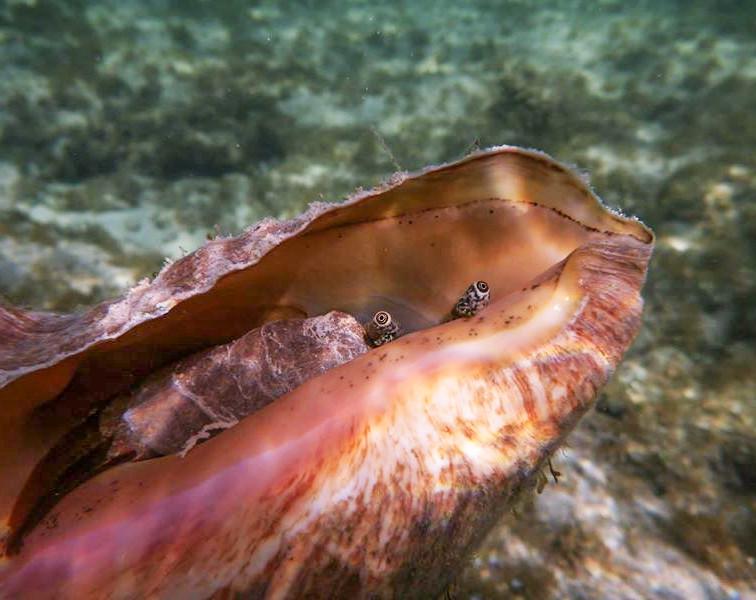 Tulip Conch