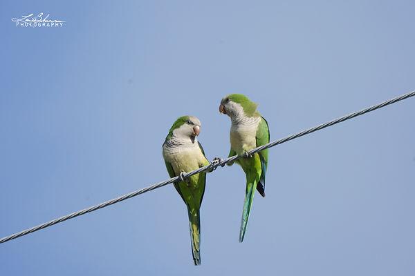ParakeetDance.jpg