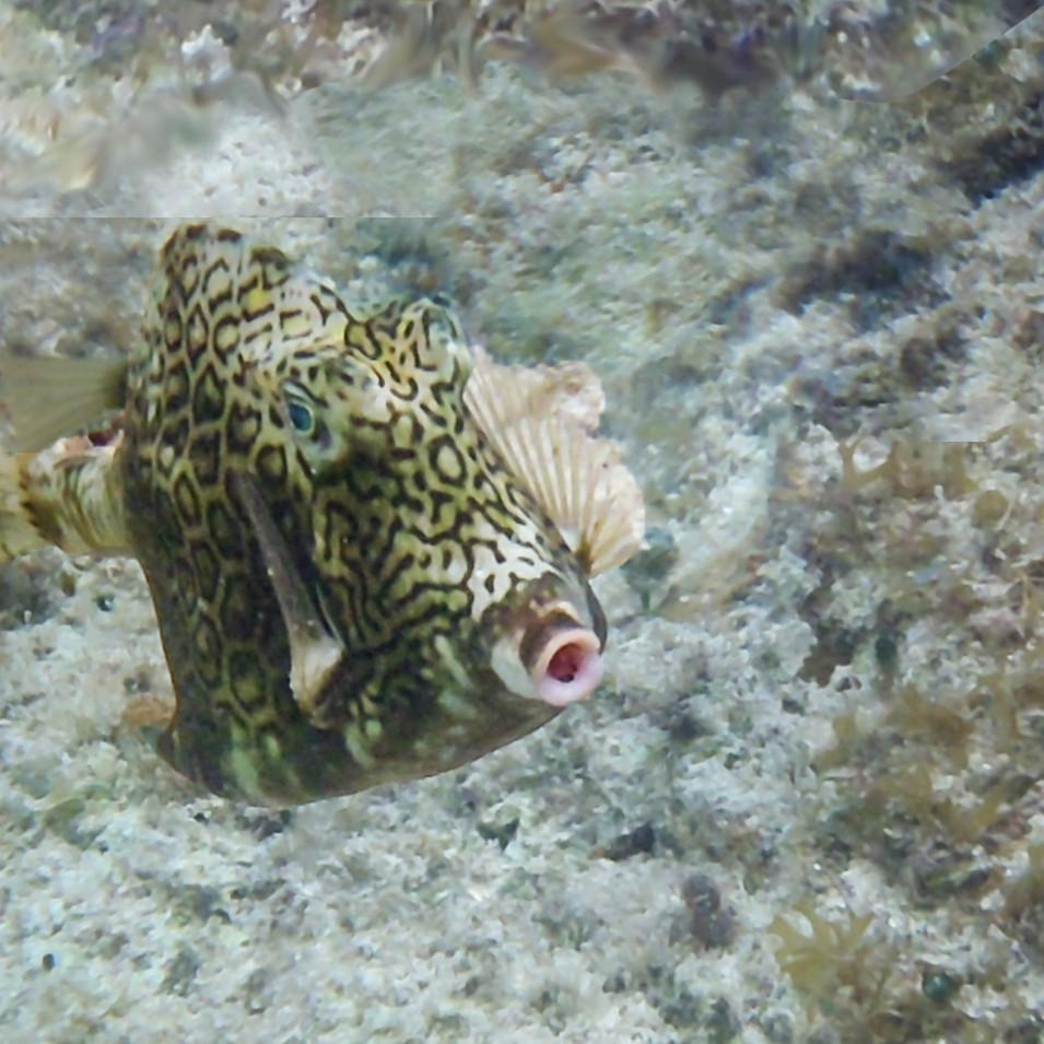 Scrawled Boxfish