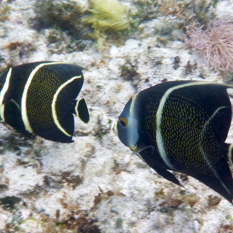 French Butterflyfish