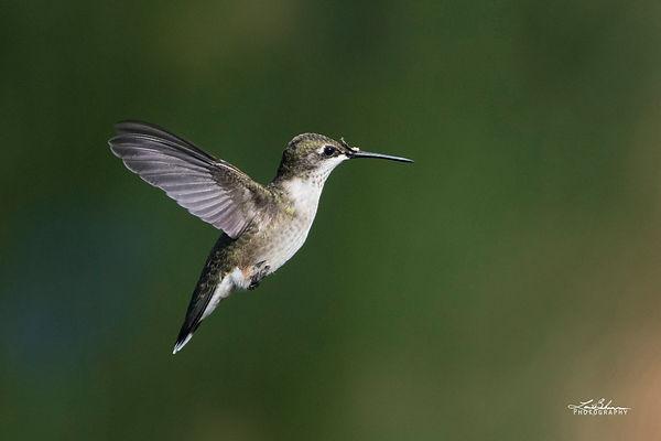 hummingbirdflight.jpg