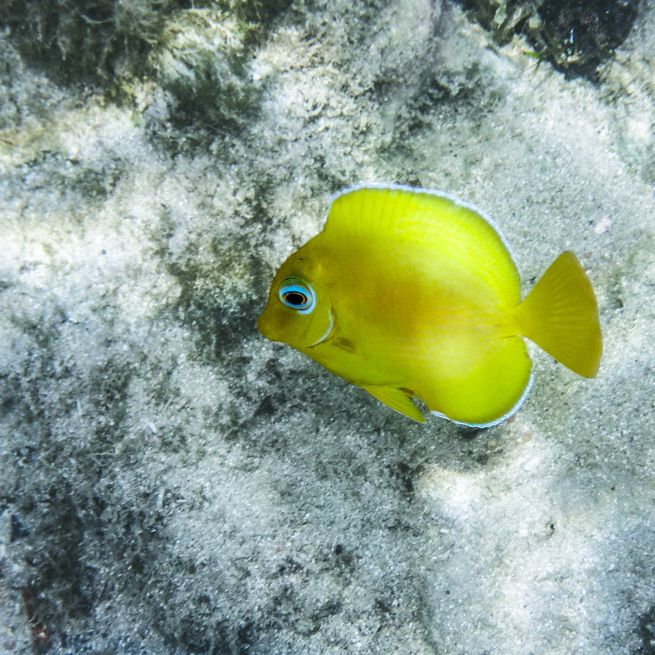 Surgeonfish Juvenile