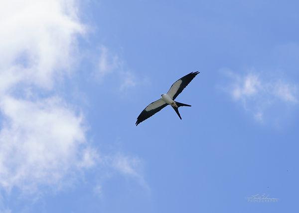 swallowtailKite1.jpg