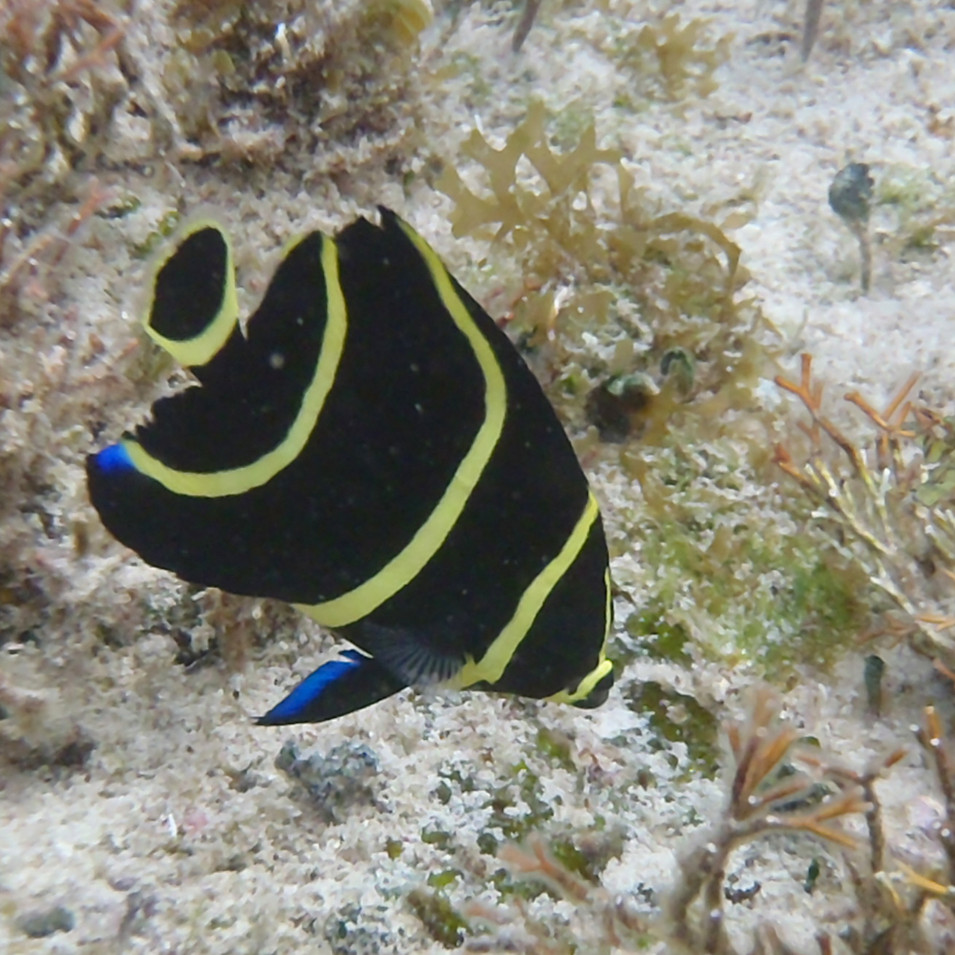 French Butterflyfish juvenile