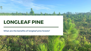 What are the Benefits of Longleaf Pine Forests?