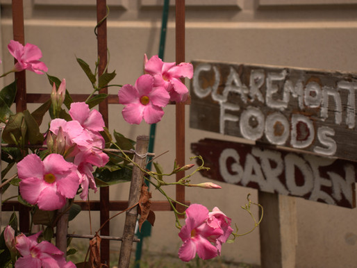 Claremont Garden Flourishes for First Full Harvest