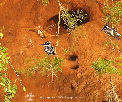 Birds of the Nile and Nest.jpg