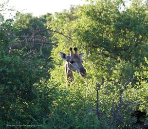 giraffeJr.jpg