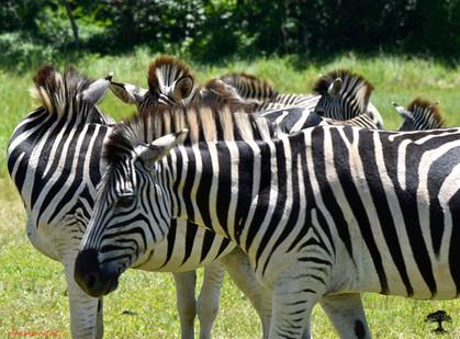 zebra hair.JPG