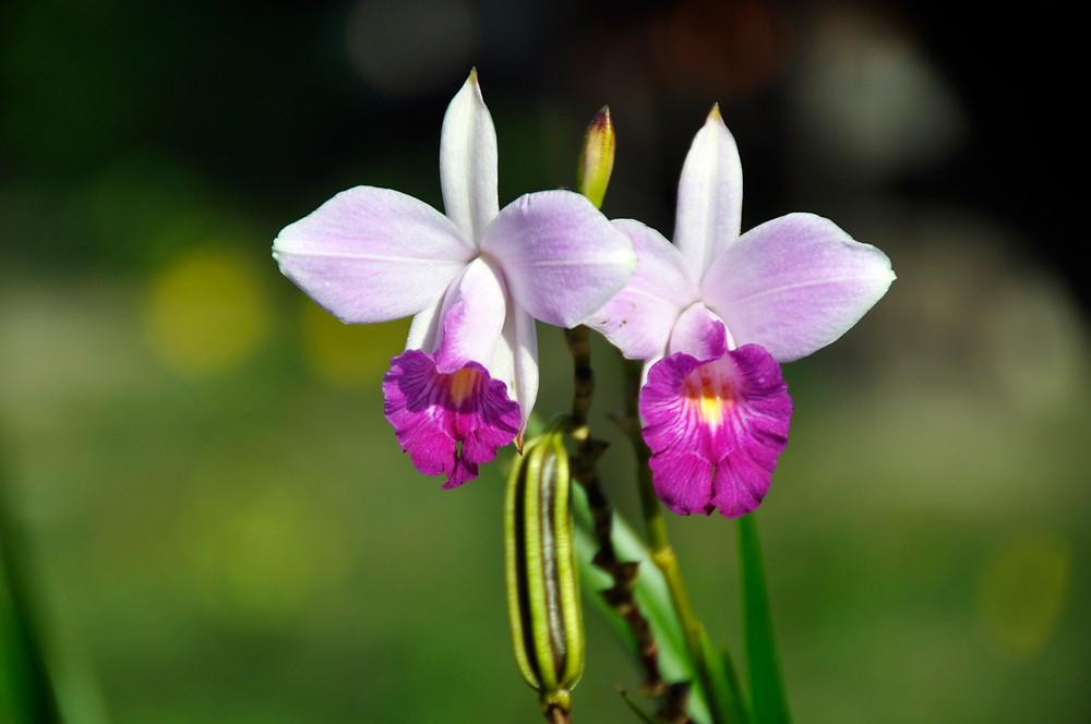 Orquídea nativa da Chapada