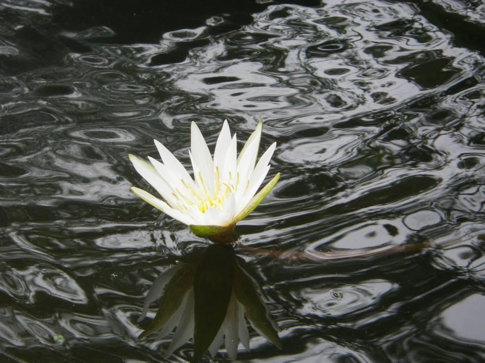 Marimbus, flor Vitoria Regia