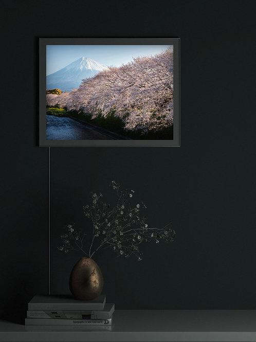 Cherry blossoms and Mt. Fuji. | Lightbox