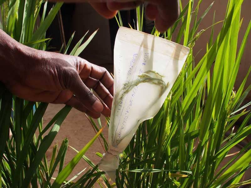 Développement  de nouvelles variétés  de riz