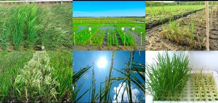 Essai multi-environnement sur le riz