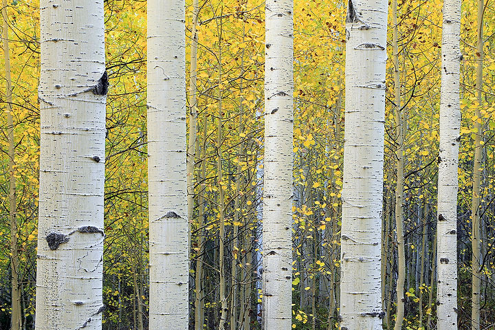 Serene yellow aspen background from the