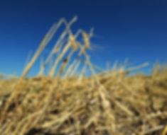 Wheat-Hail-01.jpg