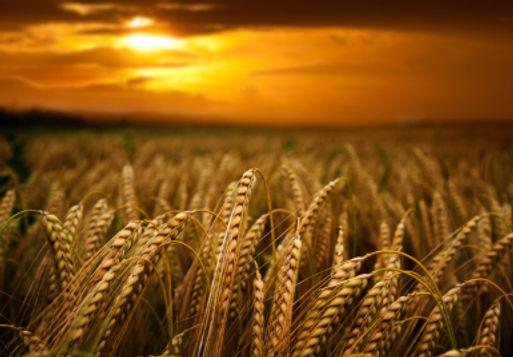 Wheat 5.jpg