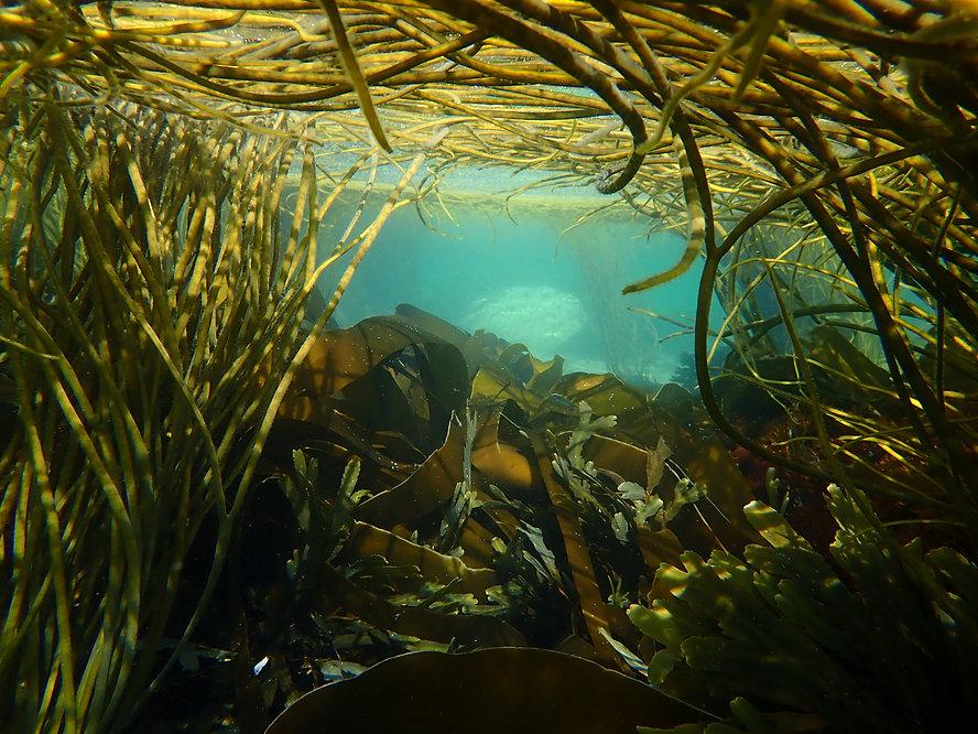 Snorkel sites kelp and seaweed